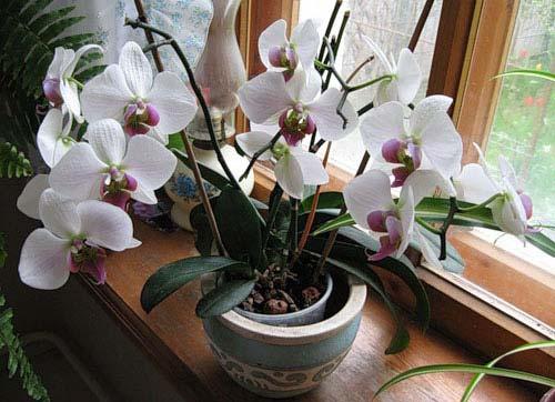 Орхидеи уход за ними в домашних условиях их болезни